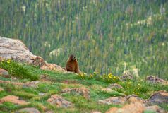 Groundhog on the meadow in the mountains. Yellow-bellied Marmot known as groundhog and wood-shock on the meadow in the mountains. Rocky Mountain National Park stock images