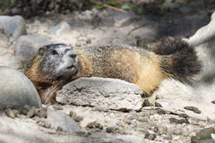 Yellow-bellied marmot lying at burrow with scat in foreground Royalty Free Stock Photo