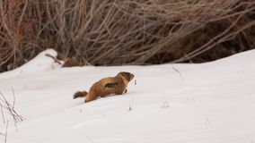 A yellow bellied marmot makes it`s way up a slope through the snow.  stock photos