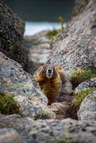Yellow-bellied marmot Royalty Free Stock Image