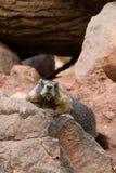 Yellow-bellied Marmot, Marmota flaviventris Royalty Free Stock Image
