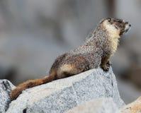 Yellow-bellied Marmot - Marmota flaviventris Stock Photos