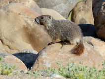 Yellow-Bellied Marmot - Marmota flaviventris Royalty Free Stock Photo