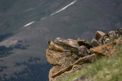 Yellow-Bellied Marmot Stock Photos