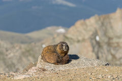 Yellow-bellied Marmot in the Mountains Royalty Free Stock Photography