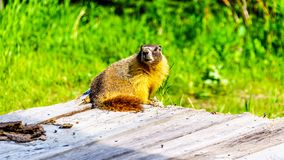 Yellow Bellied Marmot on an old wooden platform in the high Alpine of Tod Mountain. In the Shuswap Highlands of British Columbia, Canada royalty free stock image