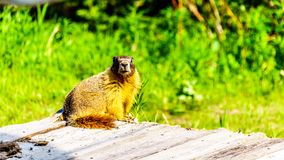Yellow Bellied Marmot on an old wooden platform in the high Alpine of Tod Mountain. In the Shuswap Highlands of British Columbia, Canada stock photo
