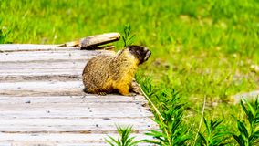 Yellow Bellied Marmot on an old wooden platform in the high Alpine of Tod Mountain. In the Shuswap Highlands of British Columbia, Canada stock photography