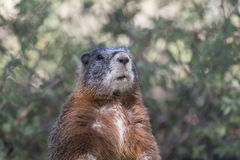 Yellow-bellied marmot portrait of head and chest with scrubs Stock Photography