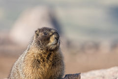 Yellow Bellied Marmot Portrait Stock Photography