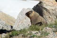 Yellow-bellied Marmot. A resident of the alpine zone royalty free stock image