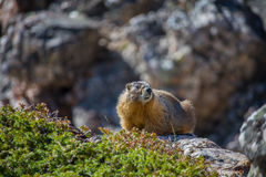 A yellow bellied marmot rests atop a boulder in the mountains. Stock Photos