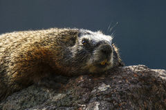 Yellow bellied marmot. A yellow bellied marmot or rock chuck was sunning himself on a rock and posing for me this summer stock photography