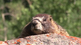 Yellow-bellied Marmot on Rock stock video footage