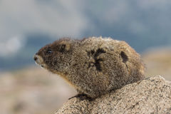 Yellow Bellied Marmot on Rock Royalty Free Stock Image