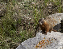 Yellow Bellied Marmot on a Rock Royalty Free Stock Image