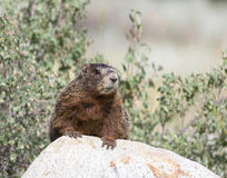 Yellow-bellied marmot on rock with shrubs in the background Stock Photography