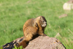 Yellow-bellied Marmot Scratching Stock Images