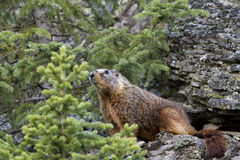 Yellow bellied Marmot Stock Image