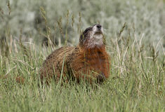 Yellow Bellied Marmot Sniffing the Air Stock Photography
