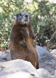Yellow-bellied marmot standing on back legs on rocks with scrubs Royalty Free Stock Image