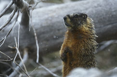Yellow-bellied Marmot standing on hind legs by fallen tree trunk Royalty Free Stock Photography