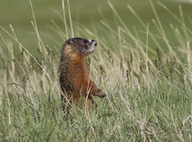 Yellow Bellied Marmot Standing Royalty Free Stock Photos