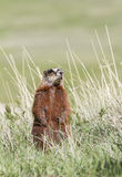 Yellow Bellied Marmot Standing Royalty Free Stock Photo