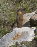 Yellow Bellied Marmot Standing on a Rock Stock Image