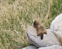 Yellow Bellied Marmot Sunbathing Stock Photography