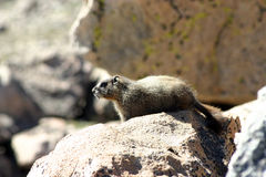 Yellow-bellied Marmot sunning on a rock. Royalty Free Stock Photos