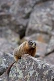 Yellow-bellied marmot in yellowstone. Yellow-bellied marmot, a ground squirrel also commonly called a rockchuck and a close relative of the groundhog, perched on Royalty Free Stock Photo
