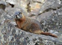 Yellow-bellied marmot Stock Photography