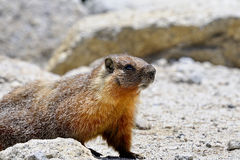Yellow-bellied marmot, yosemite national park Royalty Free Stock Images