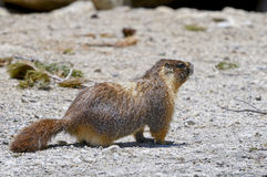 Yellow-bellied marmot, yosemite national park Royalty Free Stock Photography