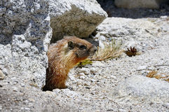 Yellow-bellied marmot, yosemite national park Royalty Free Stock Image