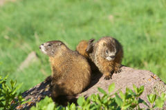 Yellow-bellied Marmots Interacting Stock Photo