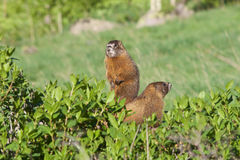 Yellow-bellied Marmots. A pair of yellow-bellied marmots on alert Royalty Free Stock Photography