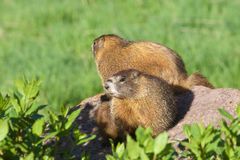 Yellow-bellied Marmots. A pair of yellow-bellied marmots sitting on a rock Royalty Free Stock Images