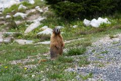 Yellow- Bellied Marmot standing guard in green grass stock photo