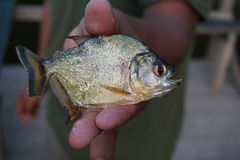 Yellow Bellied Piranha. A yellow bellied piranha native to the rivers in the Amazon Rain Forest Stock Images