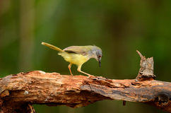 Yellow-bellied prina Stock Images