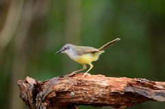 Yellow-bellied prina Royalty Free Stock Photo
