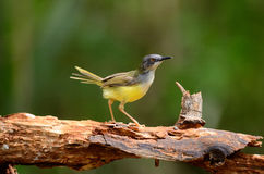 Yellow-bellied prina Stock Photos