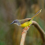 Yellow-bellied Prinia Royalty Free Stock Image