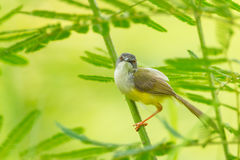 Yellow-bellied Prinia Stock Images