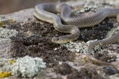 Yellow-bellied racer on the rocks. Stock Photos