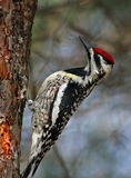 Yellow-bellied Sapsucker Royalty Free Stock Images