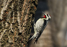 Yellow-bellied Sapsucker Stock Photography