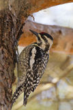 Yellow-bellied Sapsucker Royalty Free Stock Photos